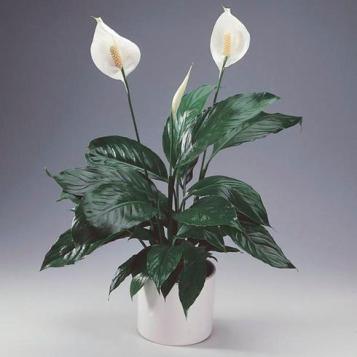 lys de paix, une plante pour l'éclat et pour la qualité d'air