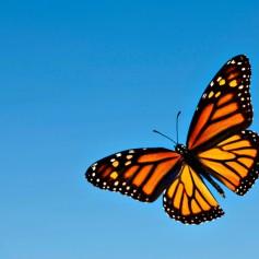 Papillon-Monarque-ciel